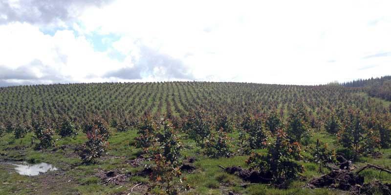 Más eucaliptos,  más   coníferas. Consecuencias de la sed de beneficio$ en la húmeda Galicia. El sector forestal. - Página 6 Plantacion-800